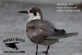 Black Tern - Upper Texas Coast - March 14, 2015 - my earliest spring record