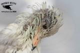 Ring-billed Gull March 14, 2015