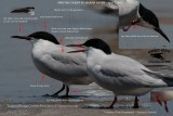 Common Tern with many longipennis characteristics - Texas