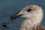 Great Black-backed Gull - Bolivar Peninsula Texas October 15, 2016