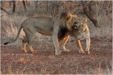 lions amoureux -  lions in love 2.jpg