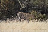 Leopard 7387
