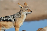 Chacal - jackal close up.JPG