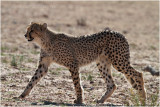Guépard - cheetah.JPG