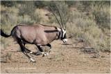 Oryx au galop - oryx at full speed.JPG