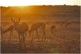 Springboks à l'aube - springboks at dawn.JPG