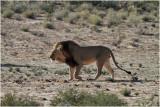 Kalahari lion.JPG