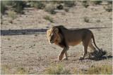 Kalahari lion 2.JPG
