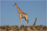 Girafe - giraffe 2.JPG