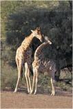 Girafe - giraffe.JPG