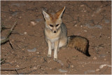 Renard du Cap - Cape fox.JPG