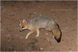 Renard du Cap - Cape fox 2.JPG