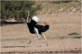 Autruche - ostrich.JPG