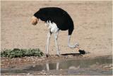 Autruche s'abreuvant - ostrich at the waterhole.JPG