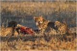 Guépard au soleil couchant - Cheetah at sunset.JPG