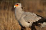 Serpentaire - Secretary bird 8136.JPG