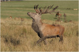 Brame  - red deer rut  2014