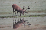 Brame 2015 - Red deer rut 2015