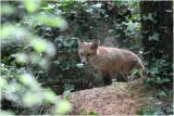 renardeau - fox cub_5947.JPG