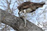 balbuzard - osprey_9988.JPG