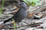 moqueur chat - grey catbird_9630.JPG