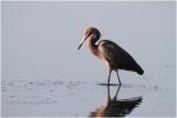 aigrette roussâtre - reddish egret_0970.JPG