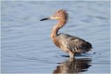 aigrette roussâtre - reddish egret_0995.JPG