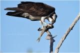 balbuzard - osprey_0663.JPG