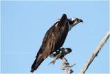 balbuzard - osprey_0680.JPG