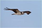 balbuzard - osprey_1352.JPG