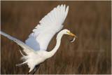 grande aigrette - great egret_1178.JPG