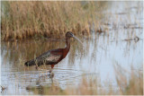 ibis fascinelle - glossy ibis_1359.JPG