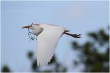 heron garde-boeufs - cattle egret_0784.JPG