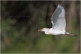 heron garde-boeufs - cattle egret_0844.JPG