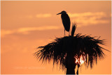 grand heron - GBH_5603.JPG