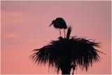 grand heron - GBH_5588.JPG