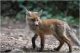renardeau - fox cub 0163.JPG