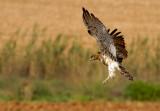 Short Toed Eagle 2013 -  חוויאי