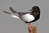Terns     מרומיות