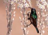 Palestine Sunbirds       צופית בוהקת