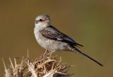 Masked Shrike - young