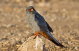 Red footed Falcon (male)