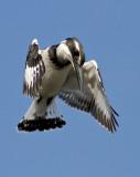 Pied Kingfisher     פרפור עקוד