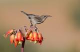 Palestine Sunbird - female -21/01/2014  צופית-נקבה