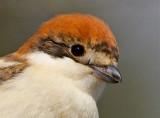 Woodchat Shrike 2014       חנקן אדום ראש