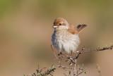 Red backed Shrike -female 8-9.2014