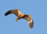 Marsh Harrier-male