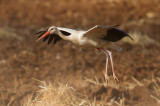 Cattle egret and White Storks   June 14th 2015