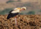 Storks and Short Toed Eagle     חסידות וחוויאי