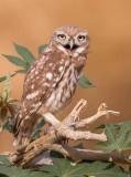 Little Owl 19072015     כוס החורבות